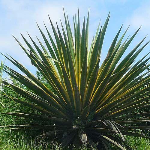 libib-lenoninas-lenonon-agave-pita-gnosisonline