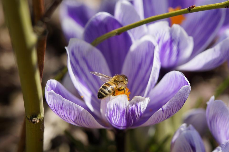 As abelhas e o açafrão recebem as energias cósmicas do planeta Vênus