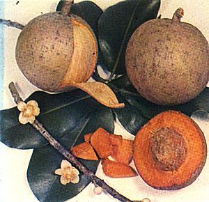 abrico-do-para-gnosisonline